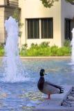 Ente und Brunnen Stockfotos