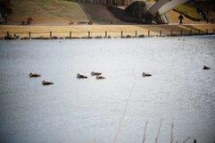 Ente und Drake Stockfoto