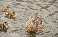 Ente und drei Entlein Stockfotografie