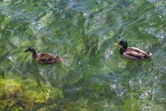 Ente und Enterich, die in das klare Wasser des Sees Mondsee schwimmen Lizenzfreie Stockfotos