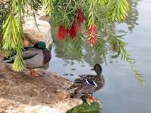 Ente und Enterich Ramat Gan Park im Februar 2007 Stockbilder