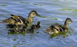 Ente und Entlein Lizenzfreies Stockbild