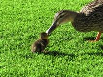 Ente und Entlein Stockfotografie