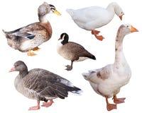 Ente und Gans stockfoto