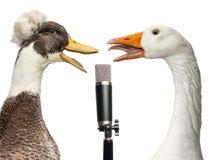 Ente und Gans, die in ein Mikrofon, lokalisiert singt Lizenzfreies Stockfoto