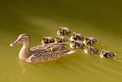 Ente und wenig Lizenzfreie Stockfotografie