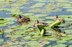 Ente, Wasser Lizenzfreie Stockfotos
