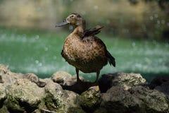 Ente, welche die neue und grüne Umwelt genießt Lizenzfreies Stockfoto