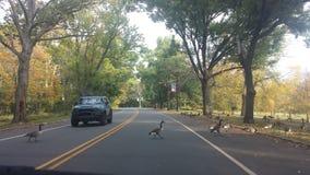 Ente, welche die Straße kreuzt Lizenzfreies Stockfoto