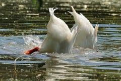 Ente zwei Stockbild