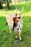 Entebbe zoo along lake Victoria in Uganda. A giant eland or a buck of some kind with twisted horns at the zoo, along the banks of lake Victoria, Uganda Stock Photography