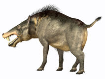 Entelodon Omnivore Stock Photos