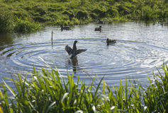 enten Stockbilder
