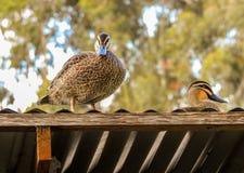 Enten auf dem Dach Stockfotos