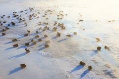 Enten auf dem Eis, das kalten Morgen einfriert Lizenzfreie Stockfotos