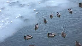 Enten auf dem Eis im Winter stock footage