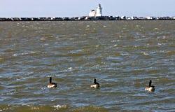 Enten auf dem Eriesee vor Leuchtturm, Cleveland, Ohio Lizenzfreie Stockfotografie