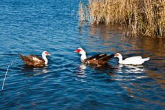 Enten auf dem Fluss Stockbilder