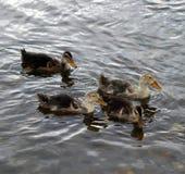 Enten auf dem Fluss Stockbild