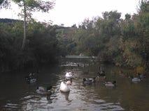 Enten auf dem Fluss Stockfoto