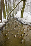 Enten auf dem Fluss im Winter Stockfotos