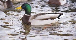 Enten auf dem Fluss lizenzfreies stockbild