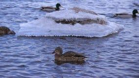 Enten auf dem Fluss lizenzfreies stockfoto