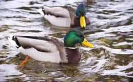 Enten auf dem Fluss stockfotos