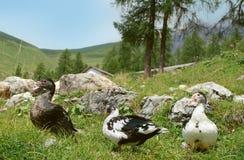 Enten auf dem Gebiet Stockfotos