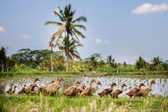 Enten auf dem Gebiet Stockbilder