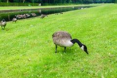 Enten auf dem grünen Feld stockbild
