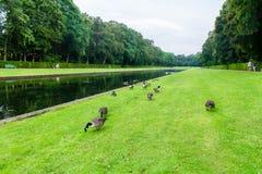 Enten auf dem grünen Feld stockfoto