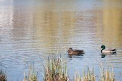 Enten auf dem See Stockfoto