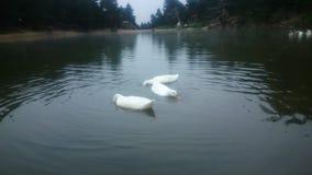 Enten auf dem See Lizenzfreies Stockbild