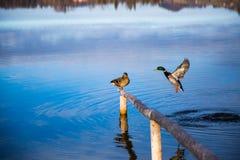 Enten auf dem See Stockfotografie