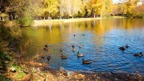 Enten auf dem Teich Lizenzfreie Stockfotografie