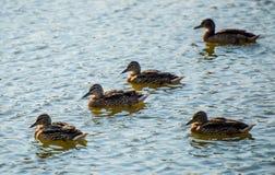 Enten auf dem Teich Stockfotografie