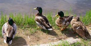 Enten auf dem Ufer stockfotografie