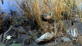 Enten auf dem Wasser Stockfotos