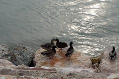 Enten auf dem Wasser Stockbild