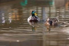 Enten auf dem Wasser Stockbilder