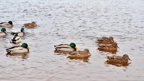 Enten auf dem Wasser Lizenzfreies Stockfoto
