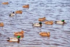 Enten auf dem Wasser Lizenzfreie Stockbilder