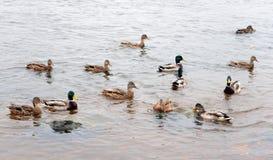 Enten auf dem Wasser Stockfotografie