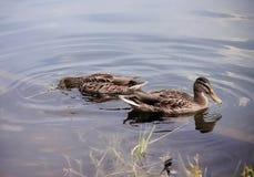 Enten auf dem Wasser im Park Lizenzfreies Stockbild