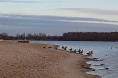 Enten auf dem Wintersee stockbilder