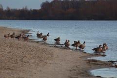 Enten auf dem Wintersee stockfoto
