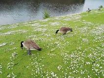 Enten auf der Bank des Sees Lizenzfreies Stockbild