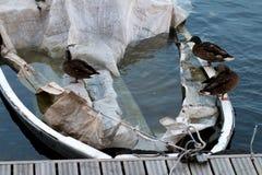 Enten auf einem überschwemmten Boot Stockbilder