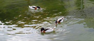 3 Enten auf einem Fluss lizenzfreie stockbilder